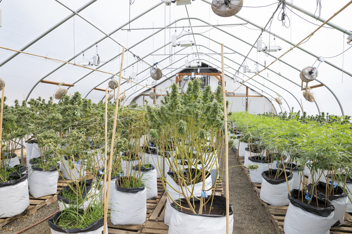 Properly placed, remotely viewed cameras are essential for both security and compliance issues for cannabis growers.